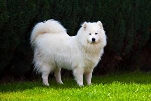Обои Самоедская собака