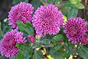 Фото Хризантемы Крупным планом Розовая Цветы