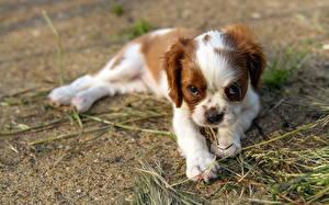 Картинки Собака Щенок Смотрит Спаниеля Кинг чарльз спаниель животное