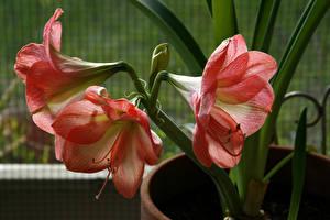 Фото Амариллис Вблизи Розовых Цветы