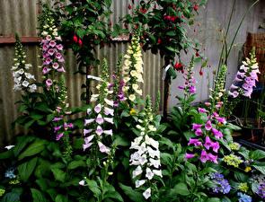 Фотографии Дигиталис цветок