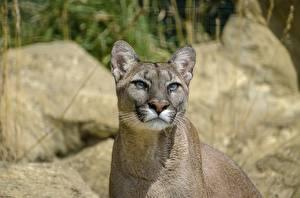 Картинка Большие кошки Пумы Смотрит