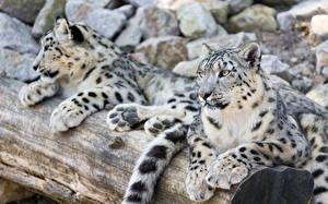 Картинки Большие кошки Барсы 2 Животные