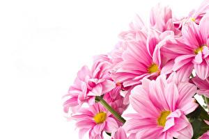 Фотографии Хризантемы Крупным планом Розовые Цветы
