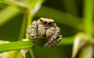 Фотографии Насекомые Пауки Крупным планом Пауки-скакуны Животные