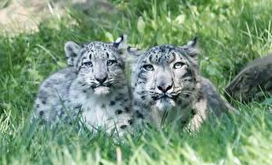 Фотография Большие кошки Ирбис Детеныши Двое Трава животное
