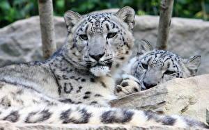Фотография Большие кошки Барсы Вдвоем Животные