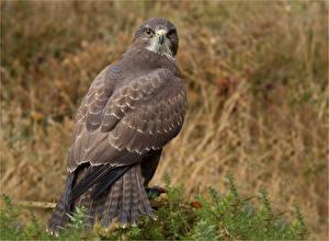 Фотографии Ястреб Птицы Смотрят Животные