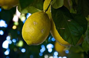 Фотографии Цитрусовые Лимоны Крупным планом Листва Пища