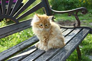 Фото Коты Скамья Котенок Пушистый Рыжий животное