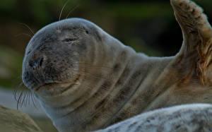 Фотографии Тюлени Вблизи