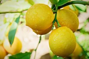 Картинки Цитрусовые Лимоны Крупным планом Ветки Капли