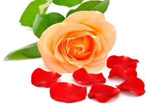 Картинка Розы Вблизи Лепестки Цветы