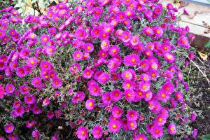 Обои Астры Много Цветы