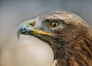 Обои Птица Орлы Вблизи Клюв Голова Животные