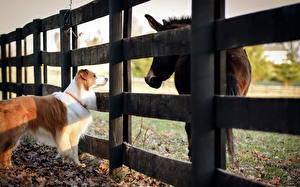 Обои Собаки Лошади Ограда Австралийская овчарка Загон Scottish Sheepdog (sheltie) животное
