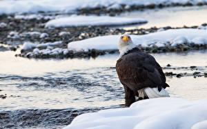 Картинки Вода Птица Ястреб Белоголовый орлан Снега животное