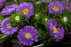 Фотографии Астры Крупным планом Фиолетовые цветок