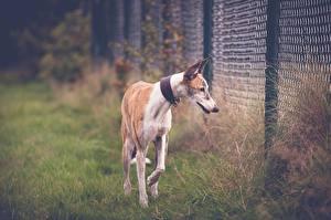 Обои Собака Забор Траве Грейхаунд Greyhound Животные