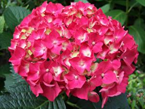 Картинка Гортензия Крупным планом Розовых цветок