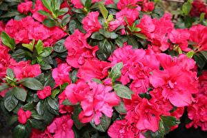 Картинка Рододендрон Много Крупным планом Розовая Цветы