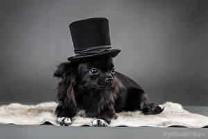 Картинка Собаки Чихуахуа Черный Щенка Шляпы животное