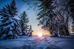 Фотография Времена года Зима Рассветы и закаты Ель Снег Природа