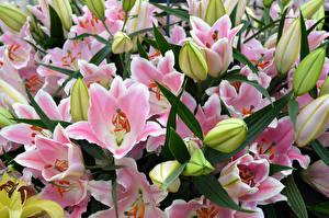 Обои Лилии Много Розовые Цветы