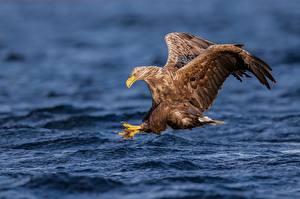 Фотографии Ястреб Птица Воде Летят Охота Haliaeetus albicilla