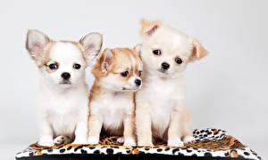 Фотография Собаки Щенка Трое 3 Ковра Чихуахуа Животные