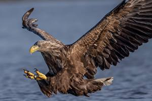 Фотографии Ястреб Птицы Летящий Крылья