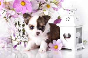Картинки Собака Чихуахуа Щенков Животные