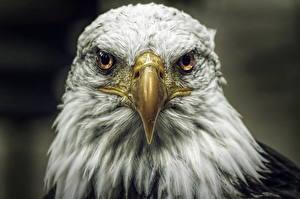 Фотографии Птицы Ястреб Белоголовый орлан Головы Клюв Взгляд