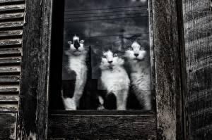 Фотография Кошки Втроем Окно Стекло Животные