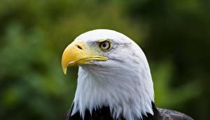 Фотография Вблизи Птица Ястреб Белоголовый орлан Клюв
