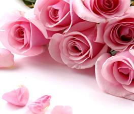 Картинка Розы Вблизи Розовый Лепестки Цветы