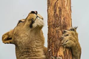 Обои Большие кошки Животные
