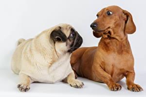 Фотография Собаки Таксы Мопсы 2 Животные