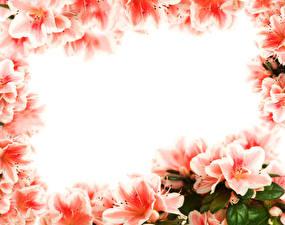 Фотография Рододендрон Вблизи Цветы