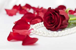 Фотография Розы Бордовый Лепестки Цветы