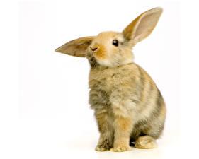 Обои Кролики Крупным планом Животные