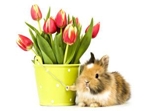 Фотография Тюльпаны Кролики Цветы Животные