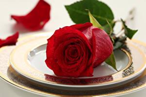 Фотография Розы Вблизи Бордовый Тарелке Лепестки Цветы