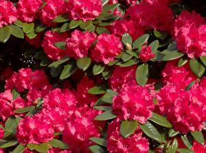 Фотографии Рододендрон Крупным планом Красная Цветы