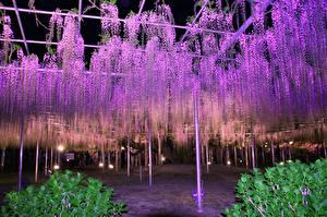 Фото Парк Глициния Много Ночью Ashikaga Flower Park Природа Цветы