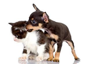 Фото Собака Кошки Котят Щенок Чихуахуа 2 Русский той терьер Животные