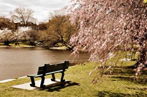 Фотография Америка Парк Пруд Цветущие деревья Бостон Скамья Massachusetts Природа
