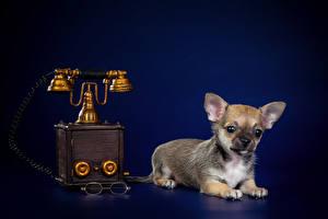 Фотография Собаки Чихуахуа Щенка Телефоном животное
