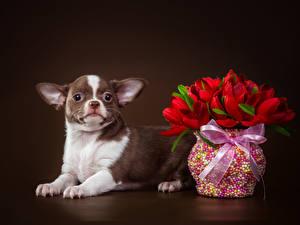 Фотография Собака Тюльпаны Чихуахуа Ваза Бантик животное