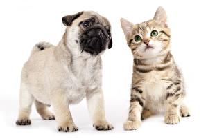 Картинка Собака Кошка Щенка Котенок Мопса Два Животные